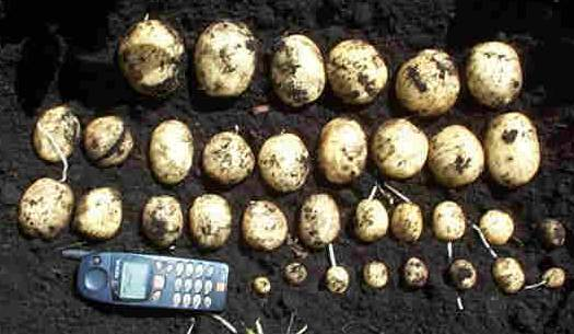 Fresh dug Nicola potatoes
