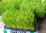 Trays of wheatgrass growing