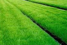 Wheatgrass growing in trays